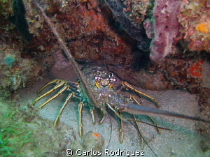 Lobster hidding and waiting for sunset. by Carlos Rodriguez 